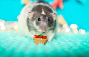 Szczury: dozwolone od lat 18. Dbanie o te gryzonie nie jest łatwe