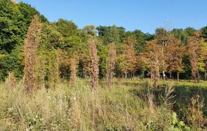 Mieszkańcy zaniepokojeni stanem przesadzonych drzew