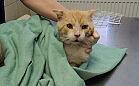 Wolontariuszki oskarżane o okaleczenie kota