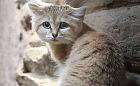 W zoo zamieszkała pierwsza w historii samica kota arabskiego