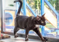 Puma: kot, który lubi ludzi i kocha psy