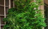 Uprawiał marihuanę w ogródku. Nie swoim