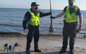 Szczątki miecznika znalezione na plaży w Sopocie