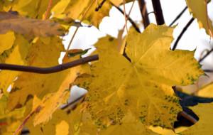 Różne podejścia do sprzątania liści w Trójmieście