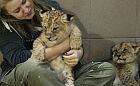 Oko w oko z lwem. To oni opiekują się drapieżnikami w zoo
