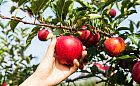 Jabłka dla zdrowia i kondycji. Warto je jeść?