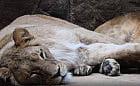 Lwica Casa z gdańskiego zoo wyjechała do Włoch