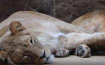 Lwica Casa z gdańskiego zoo wyjechała do...