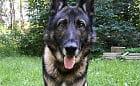 Policyjny pies odnalazł skradzione zabawki