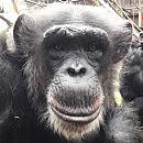 """Projekt """"szympans"""" w gdańskim zoo. Zagłosuj w budżecie obywatelskim"""