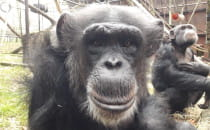 """Projekt """"szympans"""" w gdańskim..."""