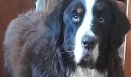 Nie dostał pieniędzy, więc ukradł psa pasterskiego