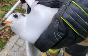 Uratowali ranną mewę śmieszkę uwięzioną nad kanałem