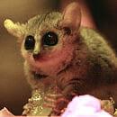 Mikrusek myszaty nowym mieszkańcem gdańskiego zoo