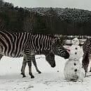 Bałwan odwiedził zebry w zoo i skończył... bez ręki