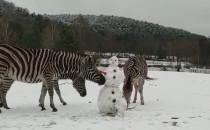 Bałwan odwiedził zebry w zoo i skończył......