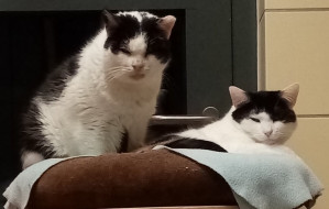Sylwek i Siwa - kocia para szuka wspólnego domu