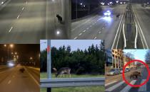 Zderzenia aut i zwierząt co drugi dzień....