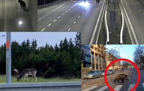 Zderzenia aut i zwierząt co drugi dzień. 165 kolizji rocznie