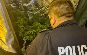 50 krzaków marihuany w piwnicy