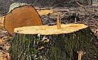 Miasto zabiera głos w sprawie nielegalnej wycinki drzew
