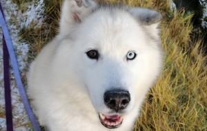 Diggi - północniak, pies dla konesera szuka domu