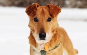 Złotorudy Grall - niewidomy psiak w potrzebie szuka domu