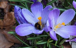 Dajmy trzmielom żyć. Jak ochronić je w swoim ogrodzie?