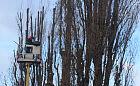 Pielęgnacja czy dewastacja drzew na Dolnym Mieście?