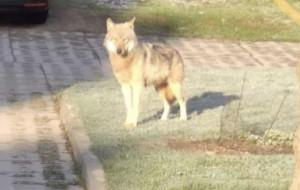 Wilk spacerował po Chwarznie i Dąbrowie