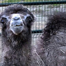 Poznajcie Wisełkę - dwumiesięczną wielbłądzicę z oliwskiego zoo