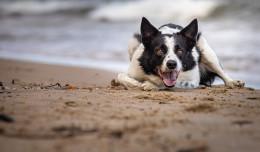 Od 1 maja z psem na plażę w wyznaczonych miejscach