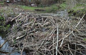 Rozebrano tamę bobrów na Potoku Oruńskim