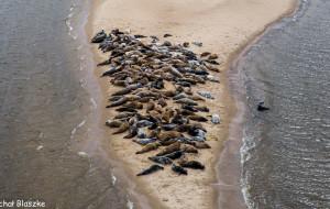 Foki wygrzewają się w rezerwacie Mewia Łacha. To jedno z ich ulubionych miejsc