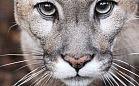 Puma przeprowadziła się z Oliwy do zoo na Węgrzech