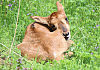 Antylopowiec szablorogi, czyli wyjątkowe narodziny w oliwskim zoo