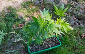 """Marihuana udawała """"seler"""" i """"rozmaryn"""""""
