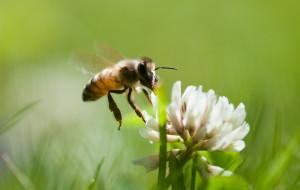 Miejskie pasieki szkodzą pszczołom? List otwarty naukowców
