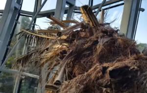 Aktywiści: palma w Oliwie uschła. Opiekun drzewa: jeszcze walczymy