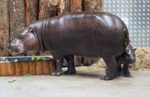Prysznice z ciepłą wodą i błotna plaża dla hipopotamów w zoo