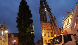 Gdańska choinka już  na Długim Targu. Ma prawie 30 metrów