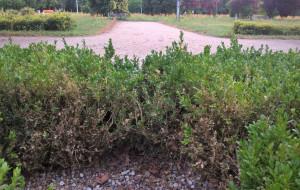 Ćma z Azji zaatakowała park na Zaspie