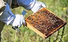 Pszczoły zamieszkały w Ogrodzie Roślin Leczniczych GUMed