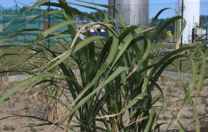 Na Szadółkach badają, czy rośliny oczyszczą glebę i powietrze