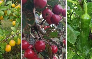 Jabłka, papryka, mirabelki. Co rośnie