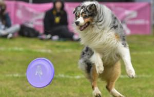 Nie tylko ptaki, psy też latają. Trwają zawody dogfrisbee w Kolibkach