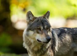 Wilki ograniczają przenoszenie ASF, nie odwrotnie. Udowodnili to naukowcy z UG