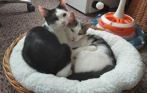 Dwa pięciomiesięczne kocięta szukają domu razem