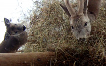 Co zimą jedzą sarny i inne zwierzęta?