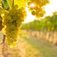 Abc wina (białe) - warsztaty degustacyjne